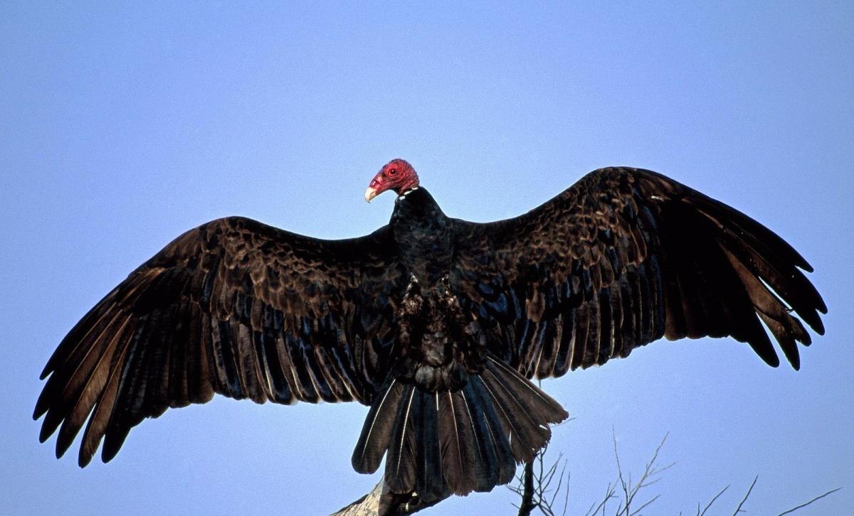 turkey_vulture-on-tree