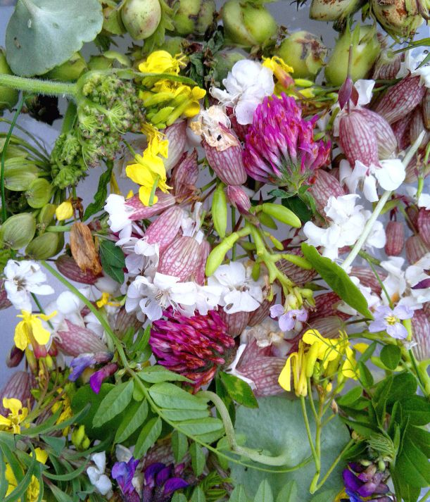 edible-wild-flowers